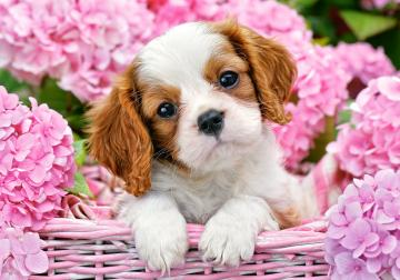 Pup in Pink Flowers - Puzzle - 500 Teile · CAS 522332 ·  Castorland