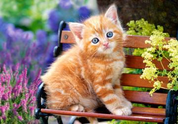 Ginger Kitten - Puzzle - 500 Teile · CAS 522402 ·  Castorland